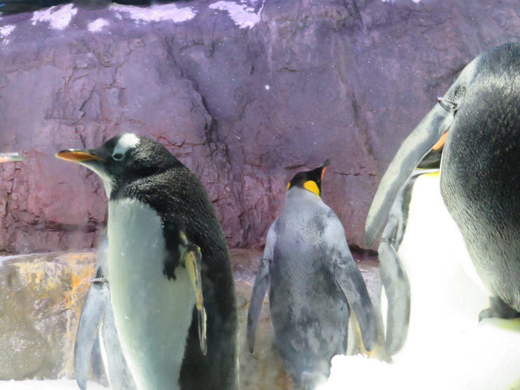 オウサマペンギンとジェンツーペンギン