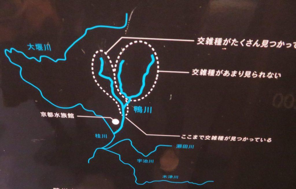 鴨川におけるオオサンショウウオ分布域