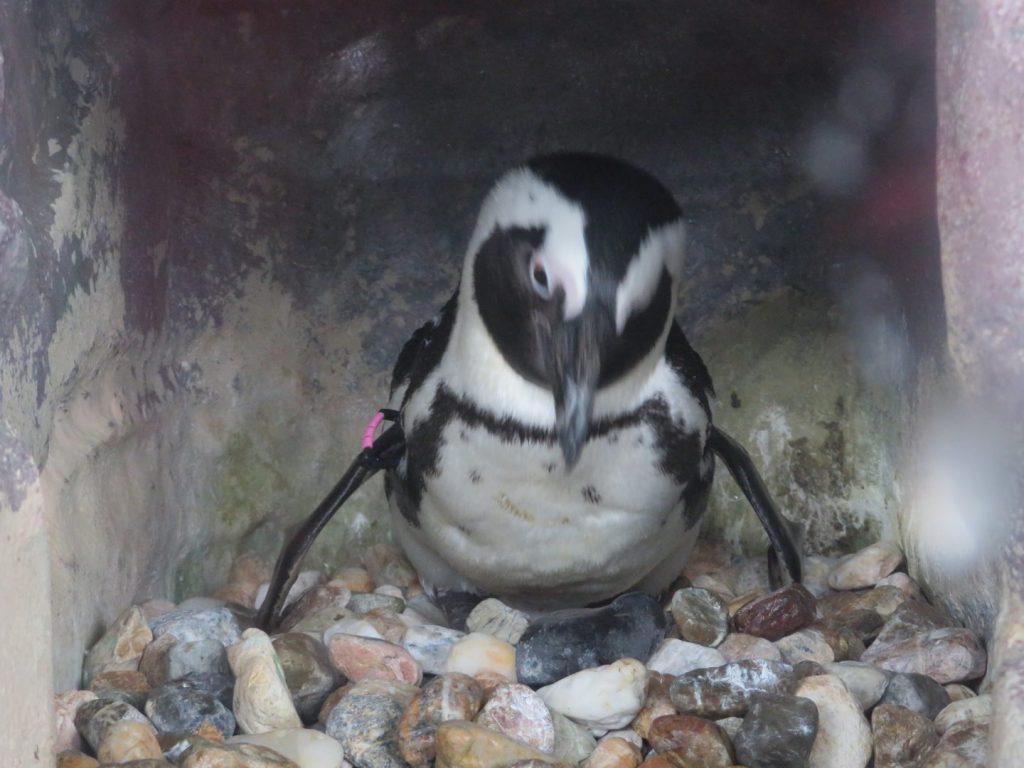卵を温め中のペンギン