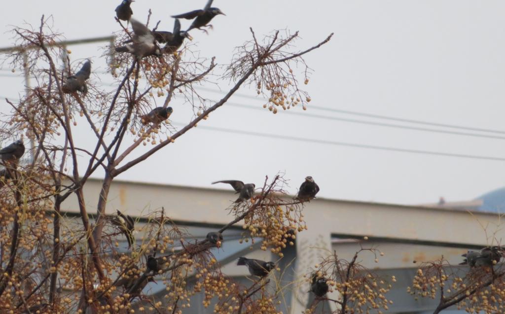 木にとまるムクドリの群れ
