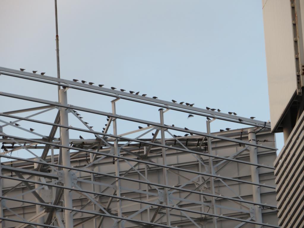 建物にとまるムクドリの群れ