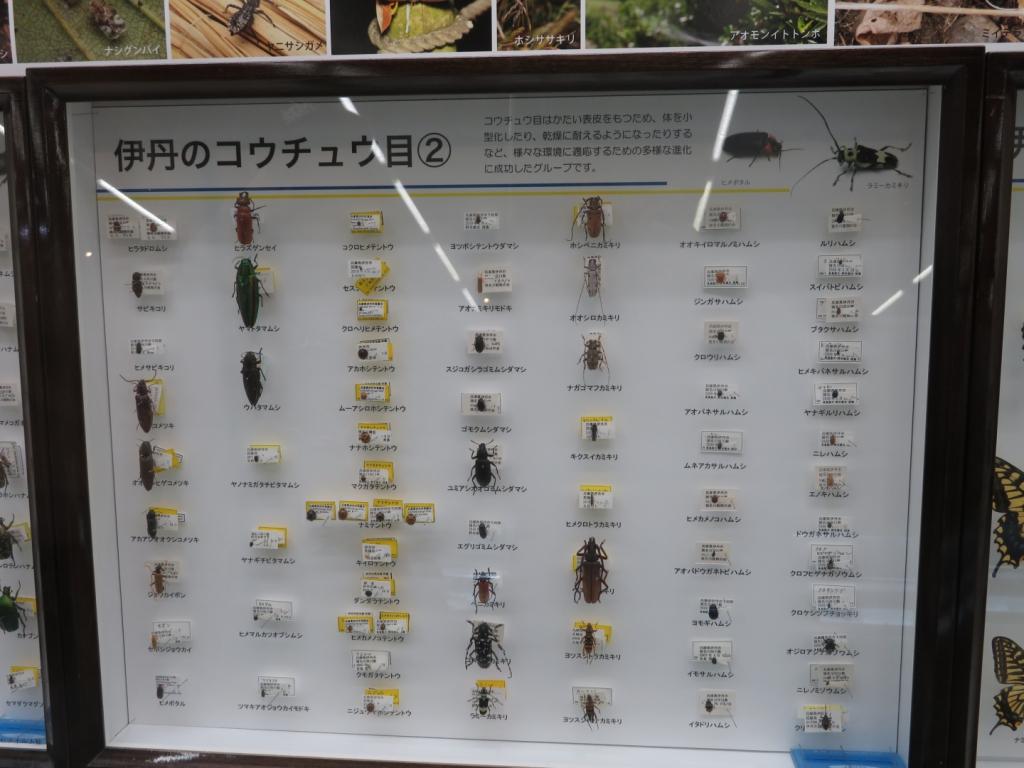 伊丹のコウチュウ目の標本