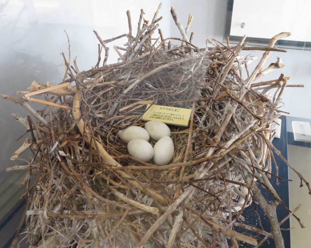 カワウの巣と卵