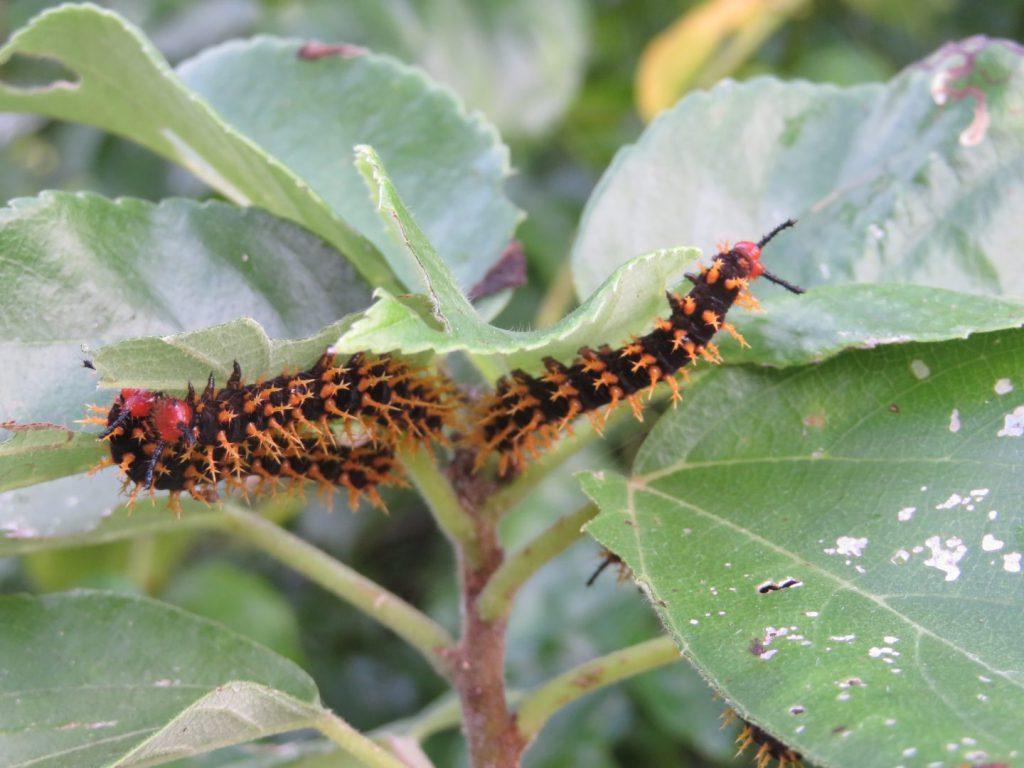 ヤエヤマムラサキの幼虫