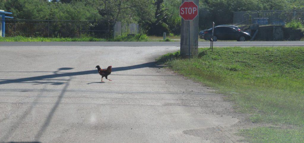 道路に出てきたニワトリ