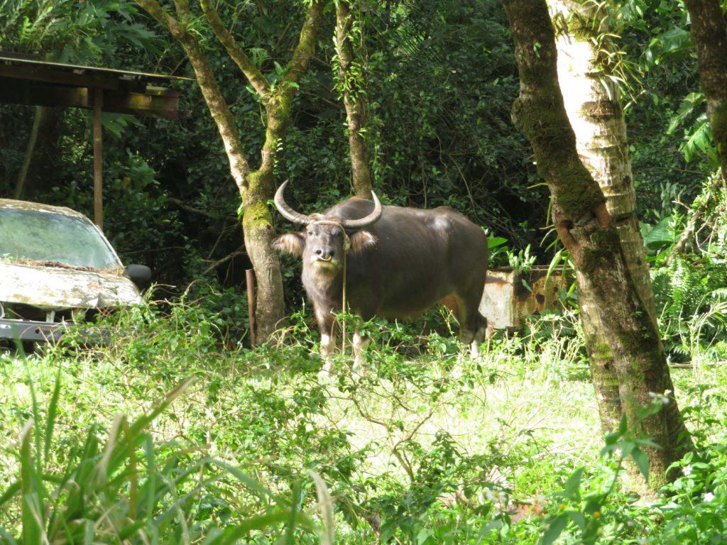 グアムの水牛
