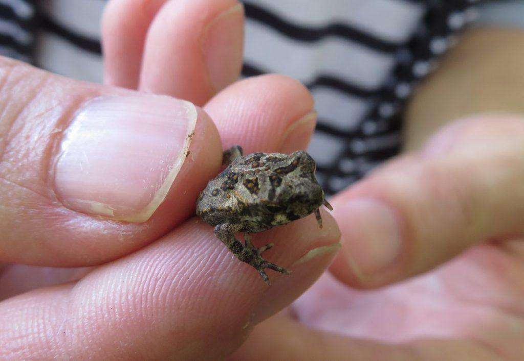 カエルの子供