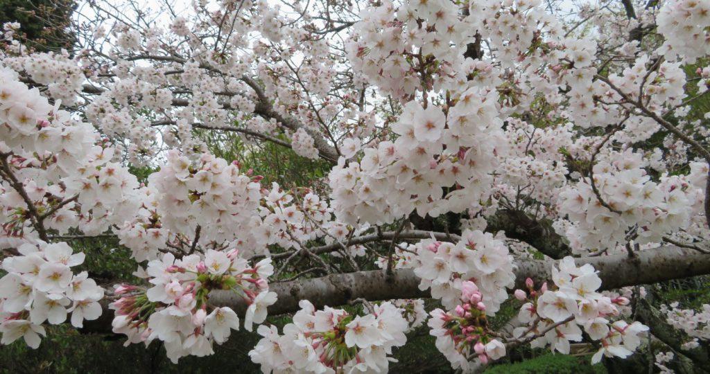 千里中央公園に花見に行ったら、生き物たちと出会えた【2020年春】