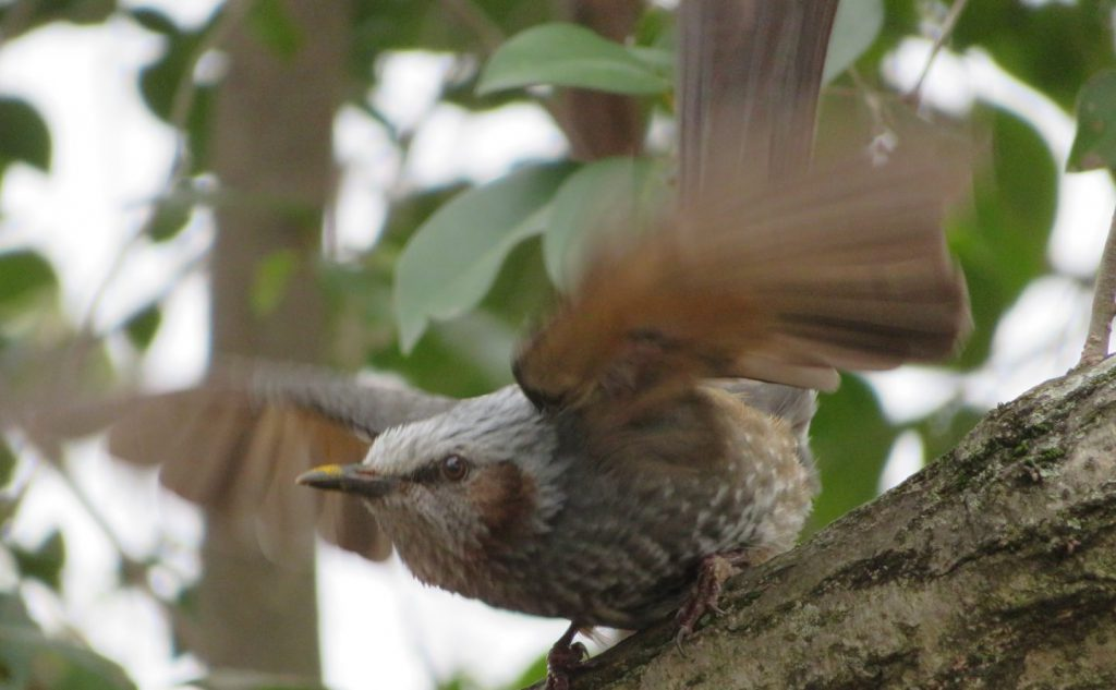 飛ぶ瞬間のヒヨドリ
