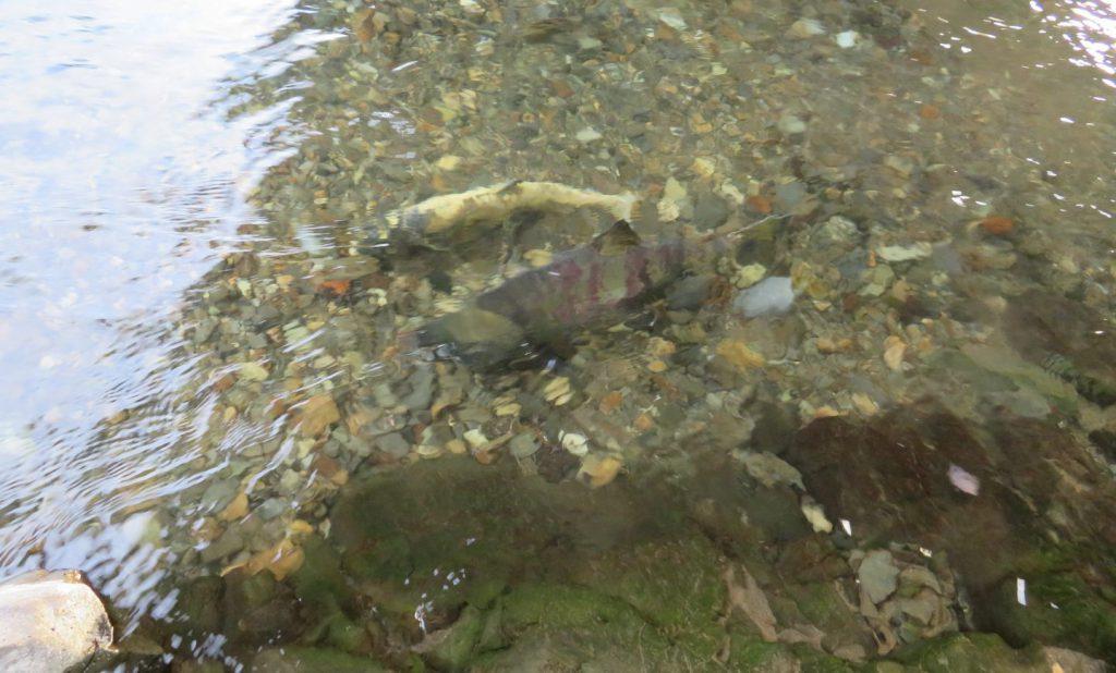 【遠音別川】知床でサケの遡上を見るための最高の場所