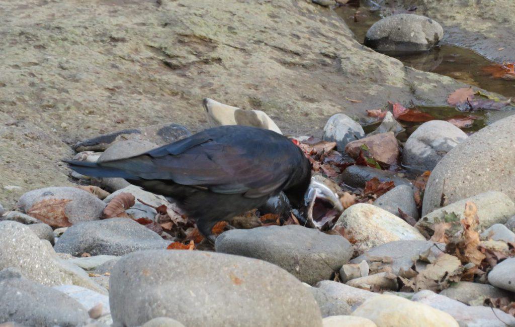 サケの死体とそれを食べるカラス