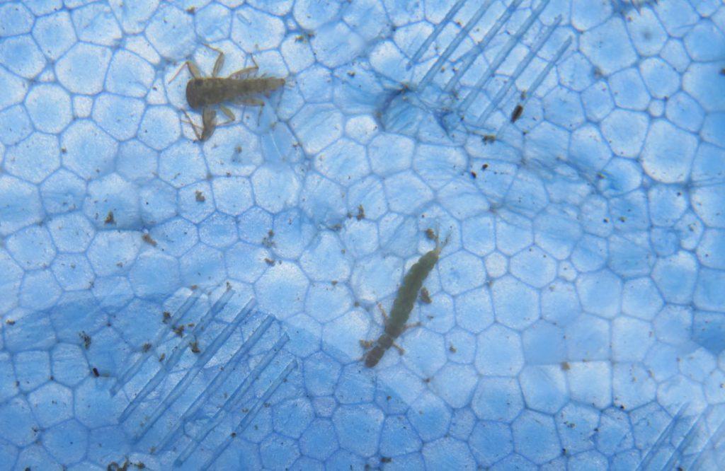 カゲロウやカワゲラの幼虫