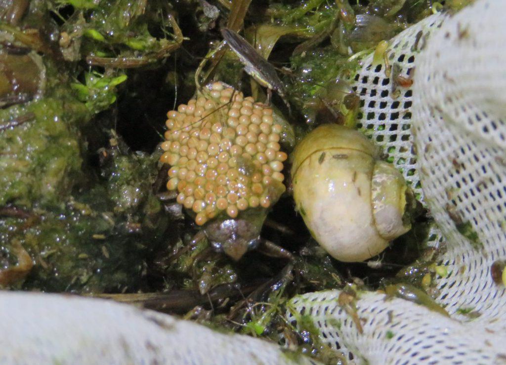 卵を背負ったコオイムシ