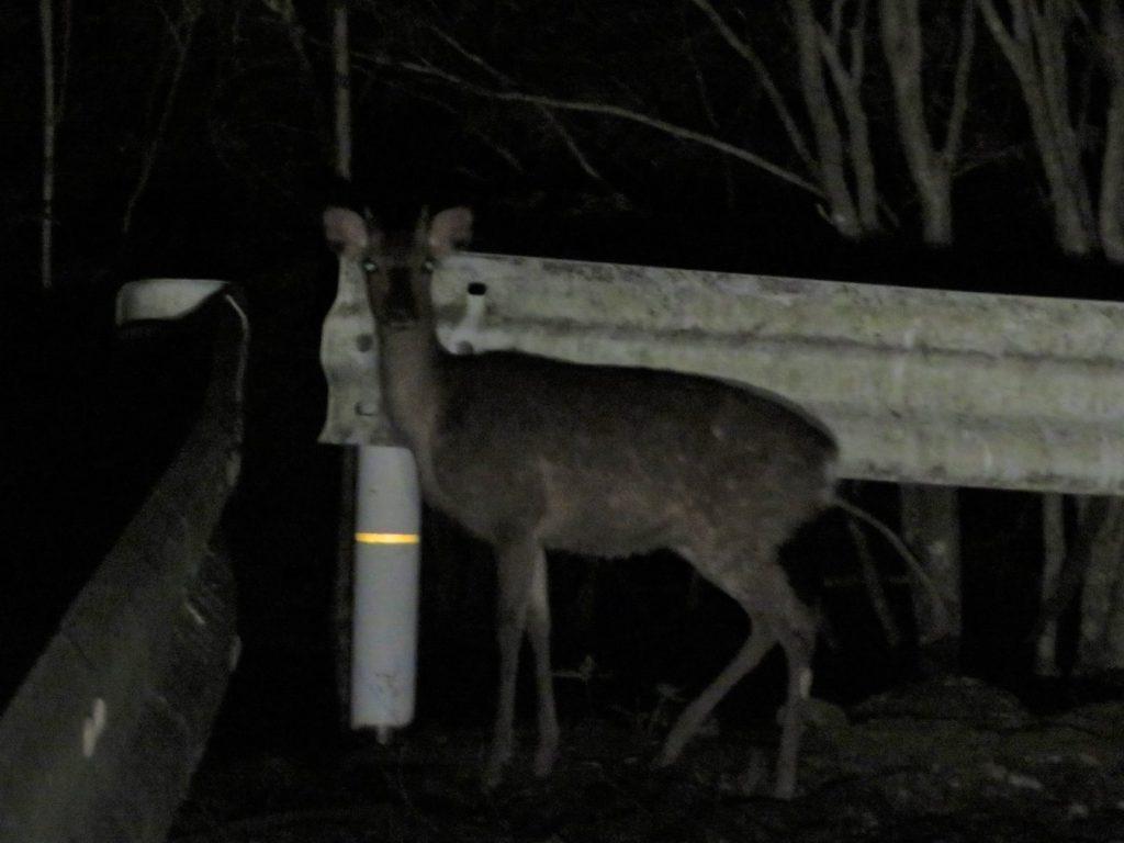 夜の道路に出てきた鹿