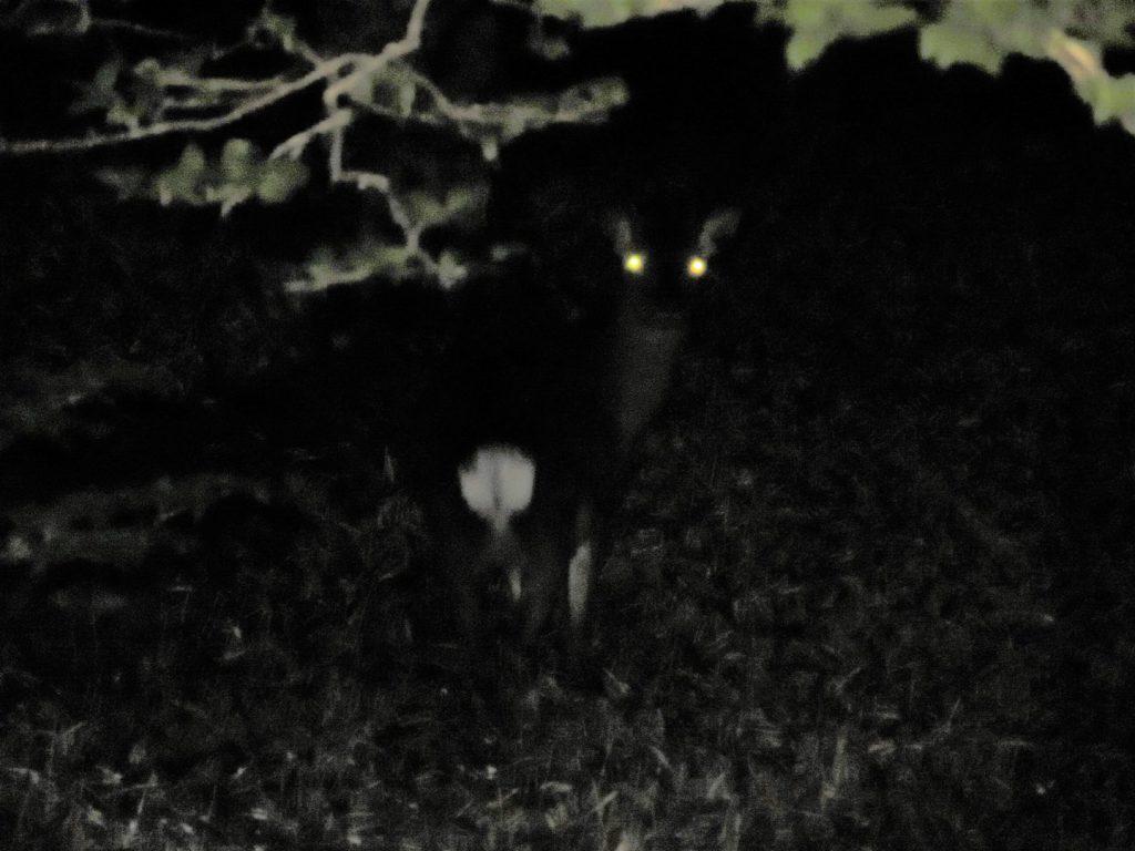 夜間の登山道にいた鹿