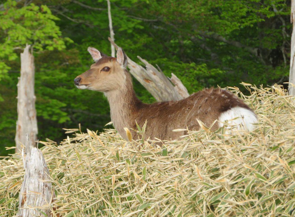 大台ケ原の鹿