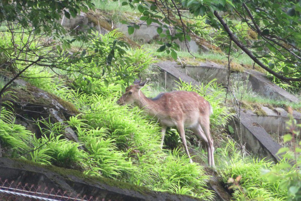 道の駅「杉の湯川上」から見える斜面にいた鹿