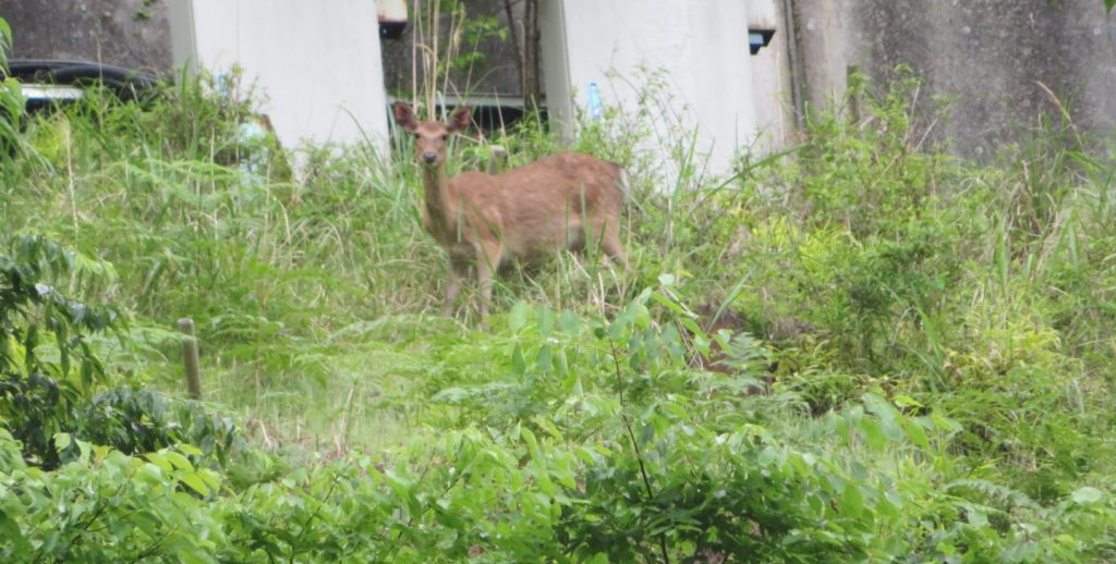 大滝ダムにいた鹿