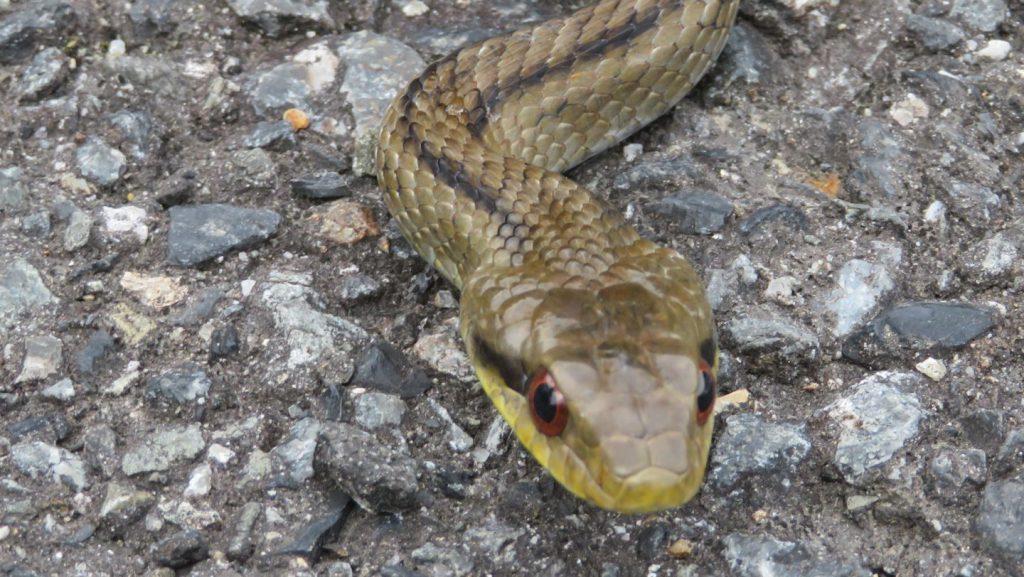 奈良県でシマヘビを採集