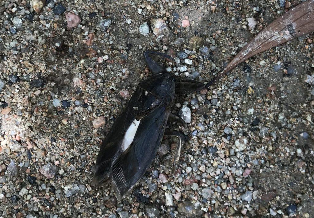 タガメの死骸