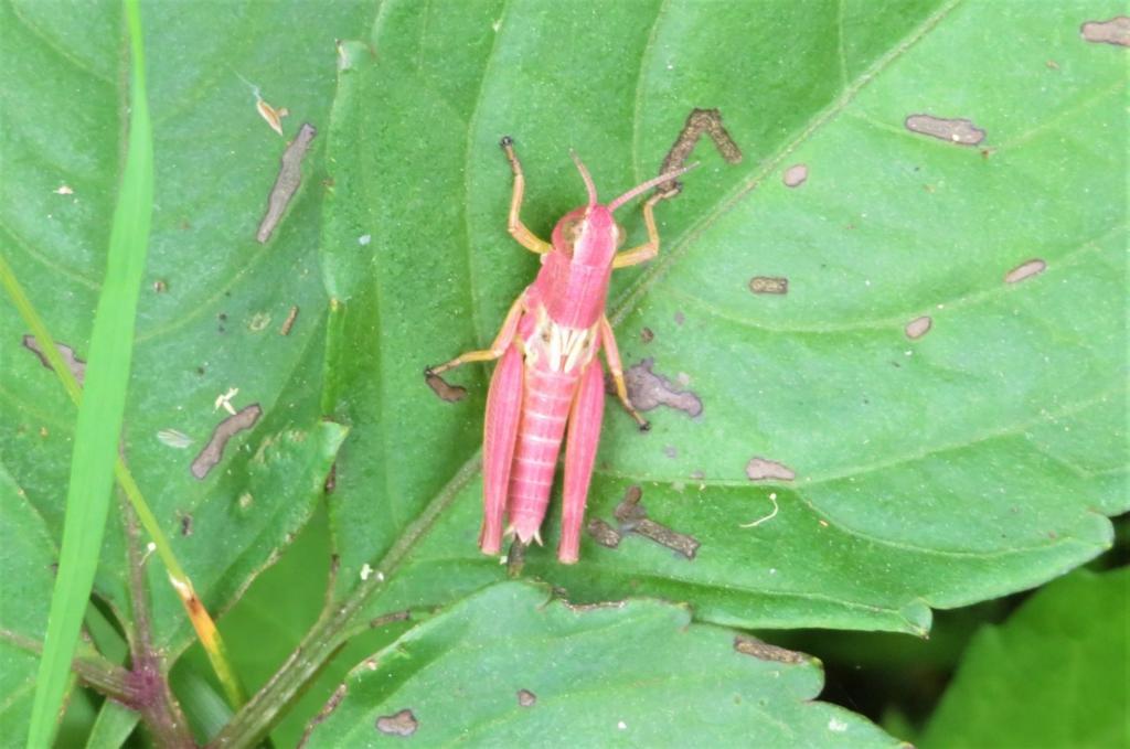 珍しいピンク色のバッタ