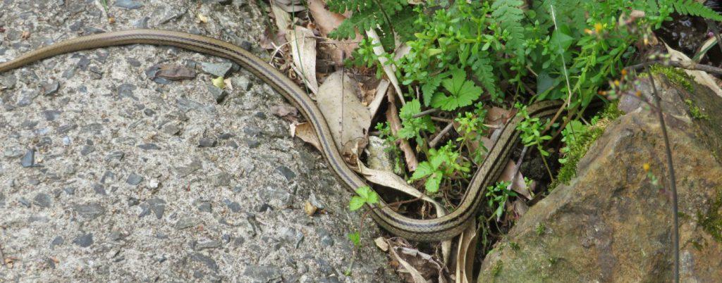 林道上にいたシマヘビ