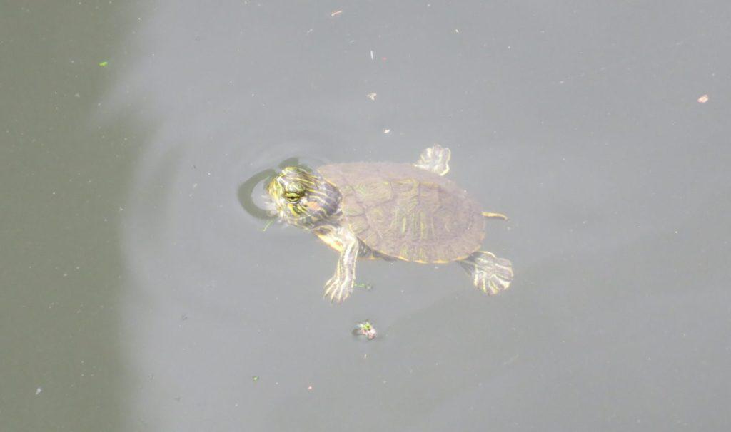 ミシシッピアカミミガメの幼体