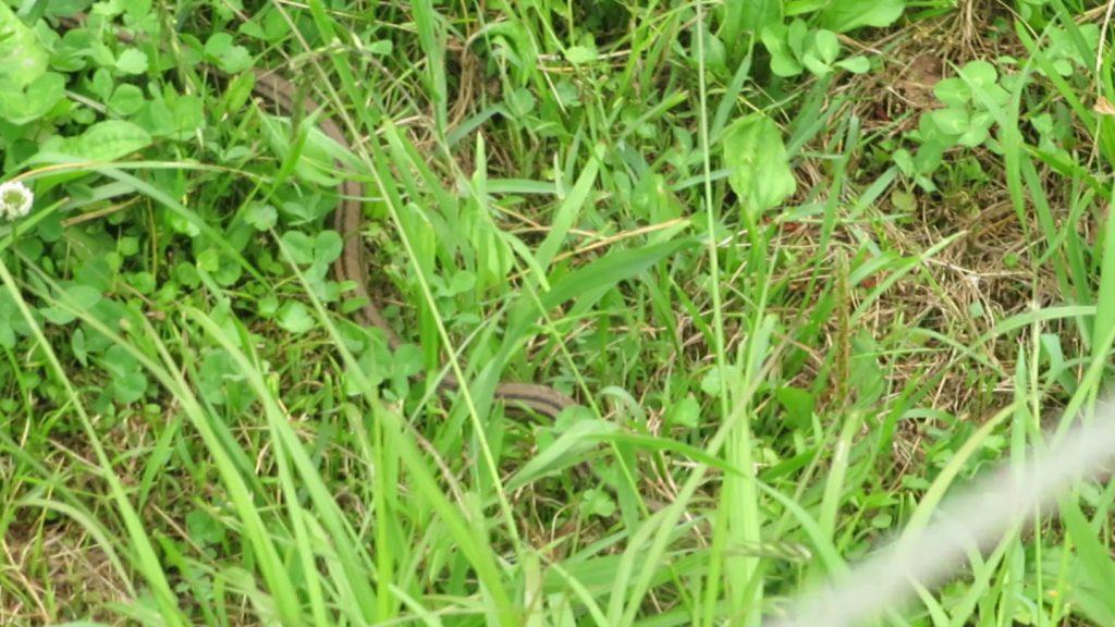 田んぼ脇の草むらを移動するシマヘビ