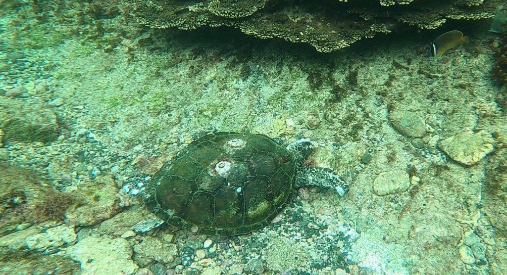 アオウミガメの死骸