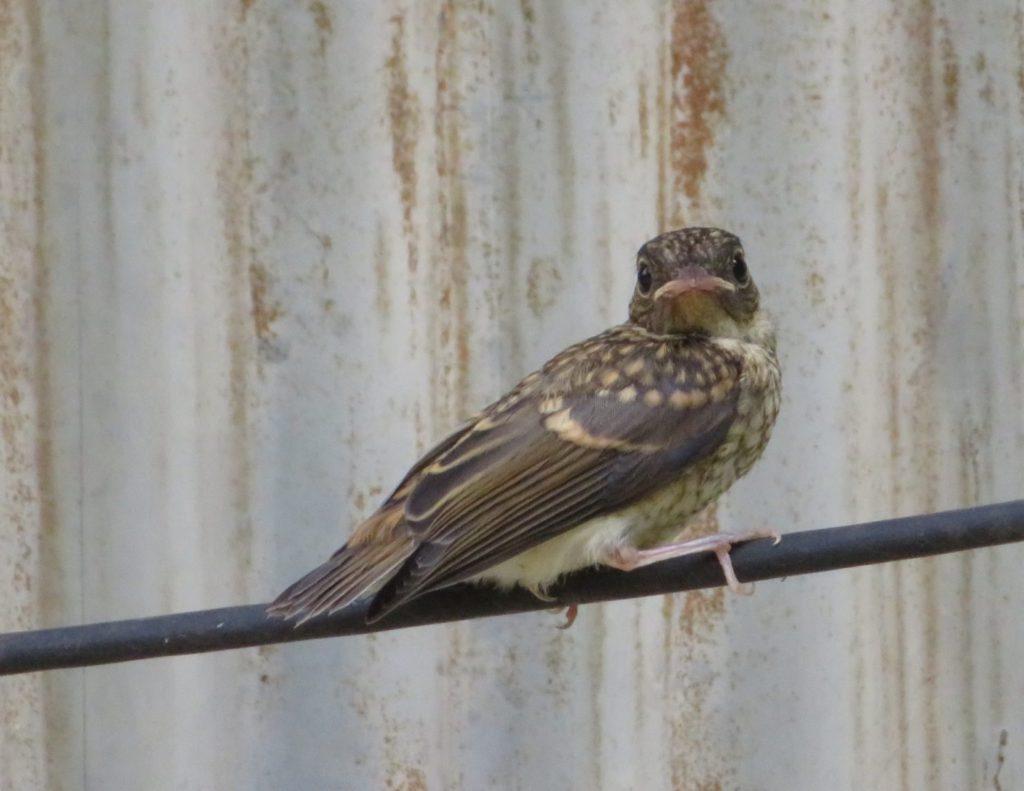 キビタキの幼鳥