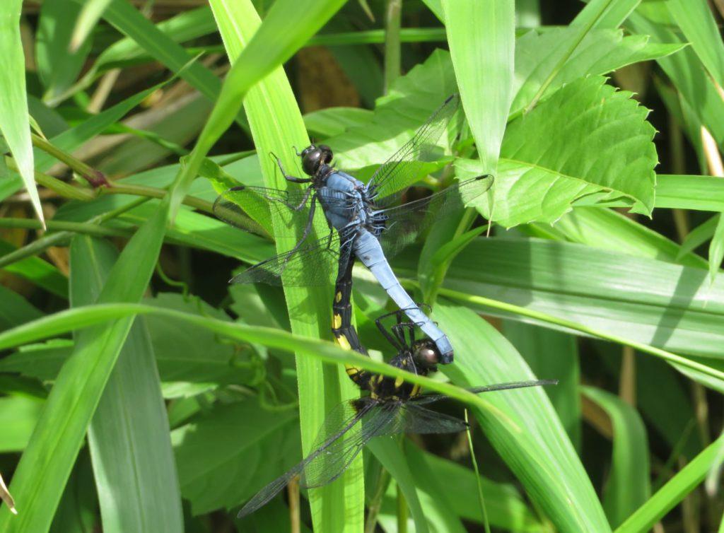 交尾中のシオヤトンボ
