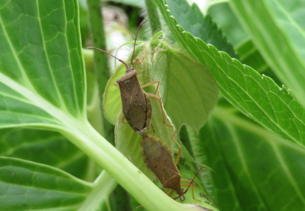 交尾中のホシハラビロヘリカメムシ