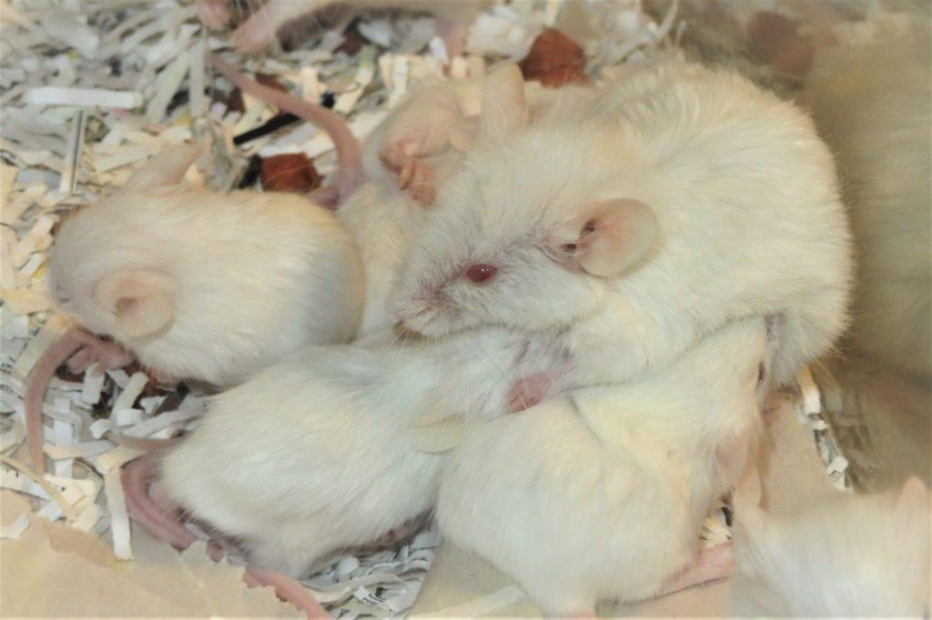 生後3週間のハツカネズミ