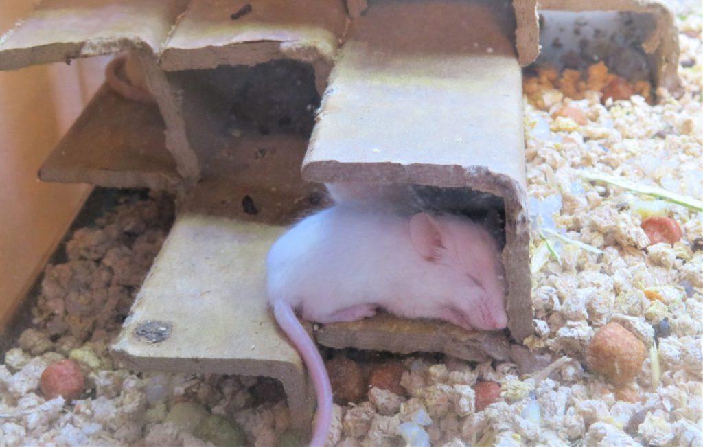 ハツカネズミの隠れ家を作ろう!