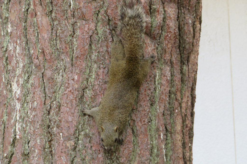 木にへばりつくタイワンリス