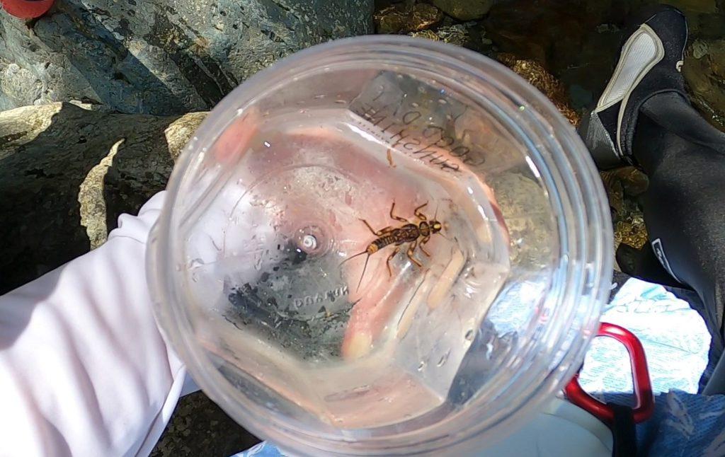 クラカケカワゲラの幼虫
