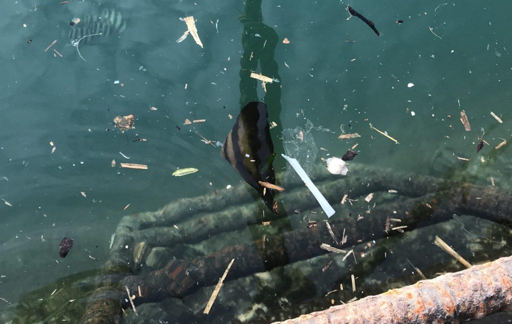 漁港に浮かぶナンヨウツバメウオ