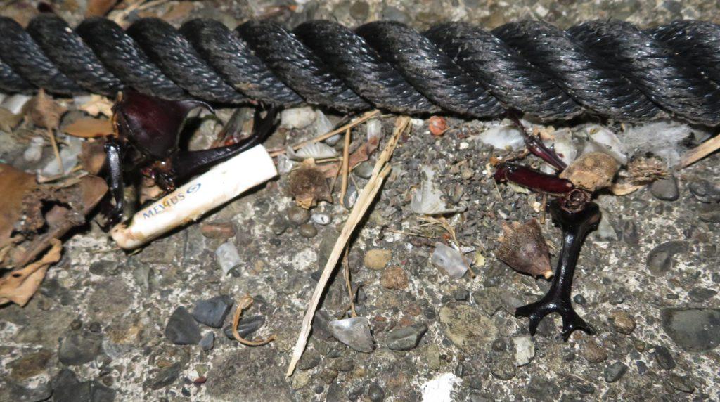 漁港に飛来したカブトムシの死骸
