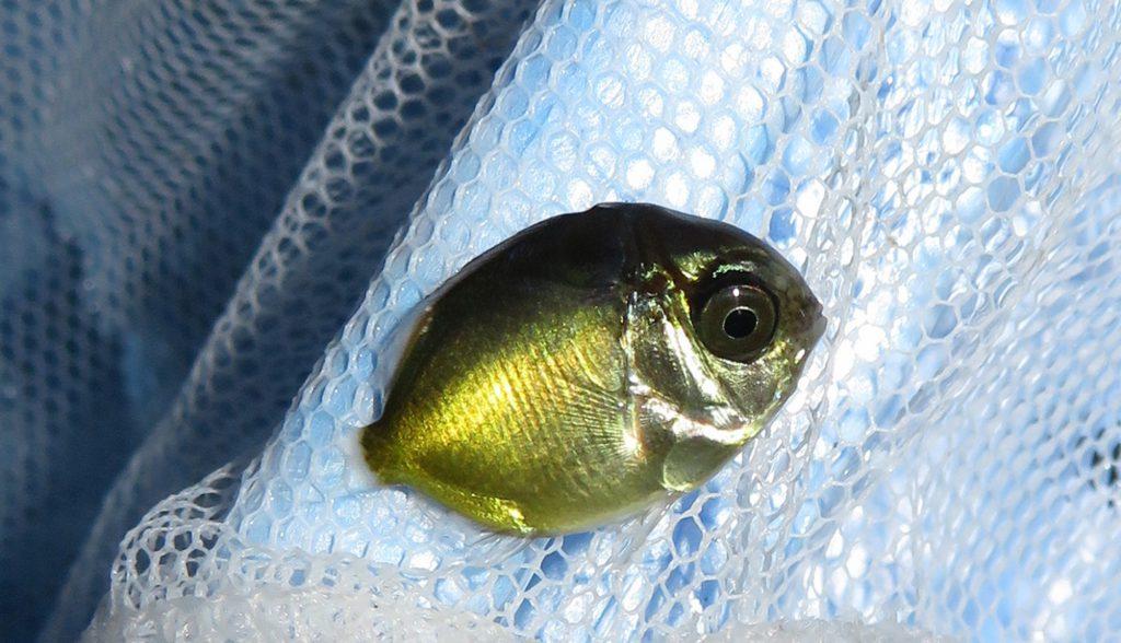 トリクティス期のチョウチョウウオ稚魚