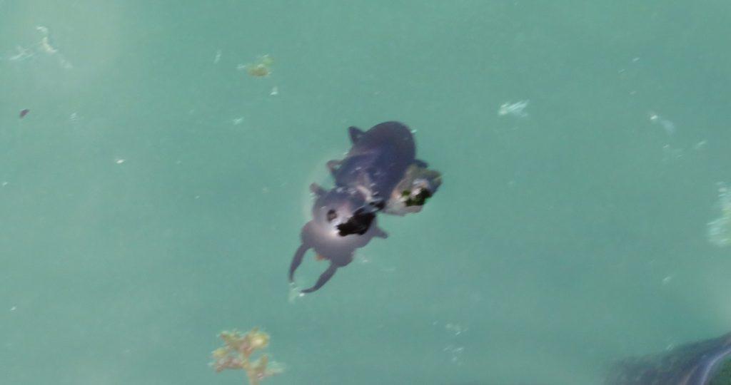 海面にいたクワガタムシの死骸