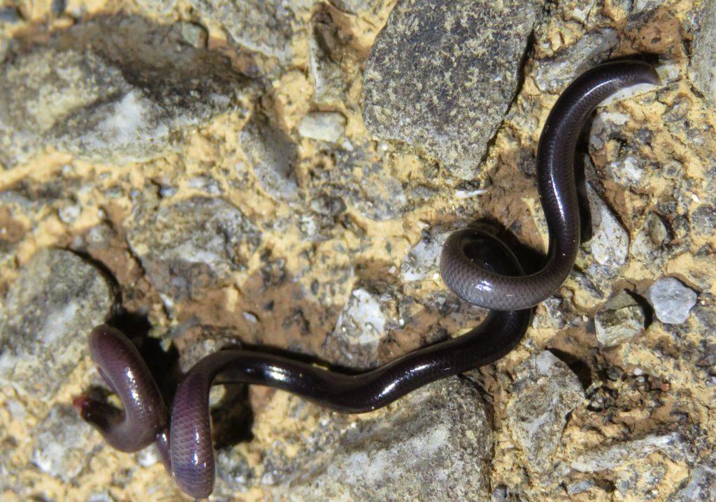 側溝中で死んでいたブラーミニメクラヘビ