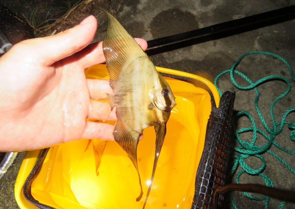 沖縄で捕まえたミカヅキツバメウオ