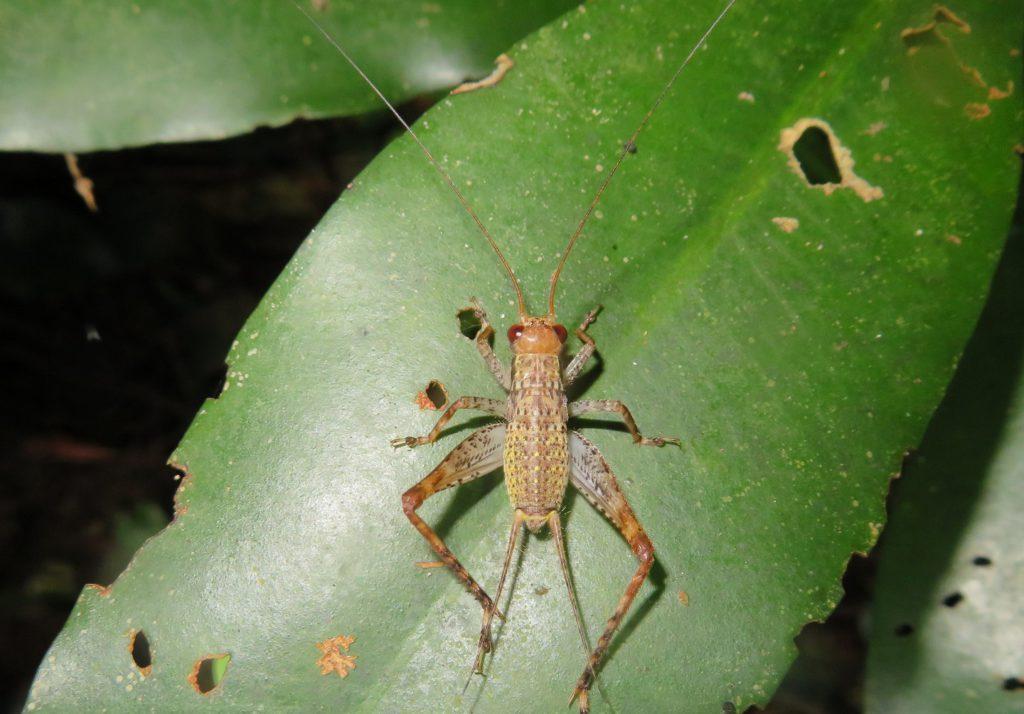 マダラコオロギの幼虫