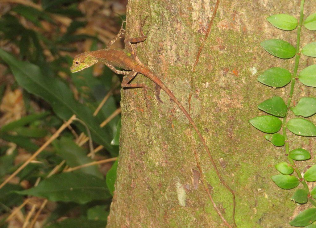 木の幹につくオキナワキノボリトカゲ