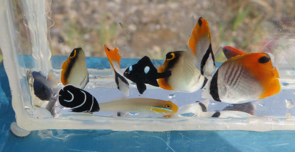 チョウチョウウオなど海水魚