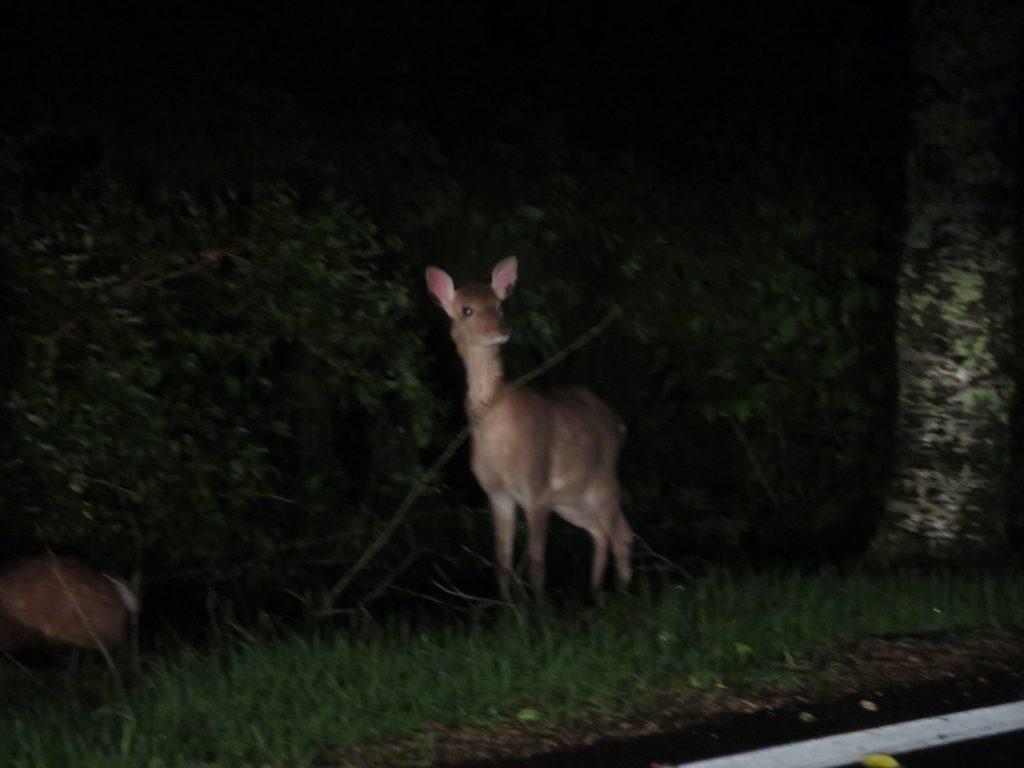 夜道のニホンジカ