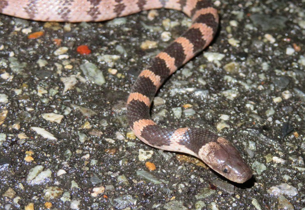 【シロマダラ】大阪で幻のヘビを採集!!
