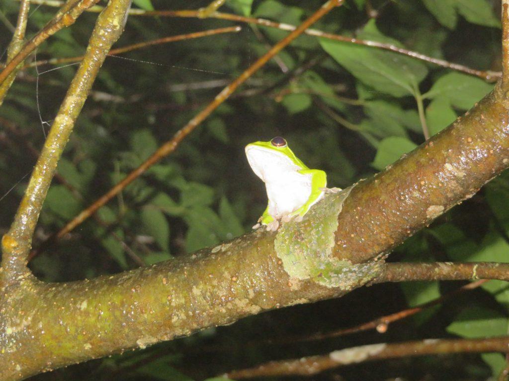 樹上のモリアオガエル