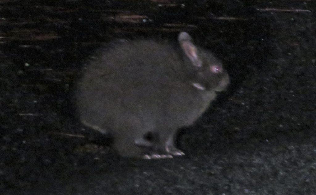 夜に出会ったアマミノクロウサギ