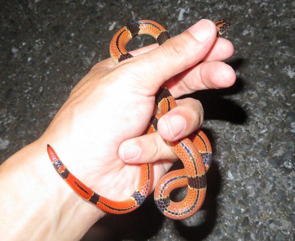 奄美大島のヘビ全8種【世界自然遺産】